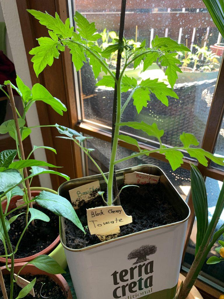 Tomate nach einer Woche