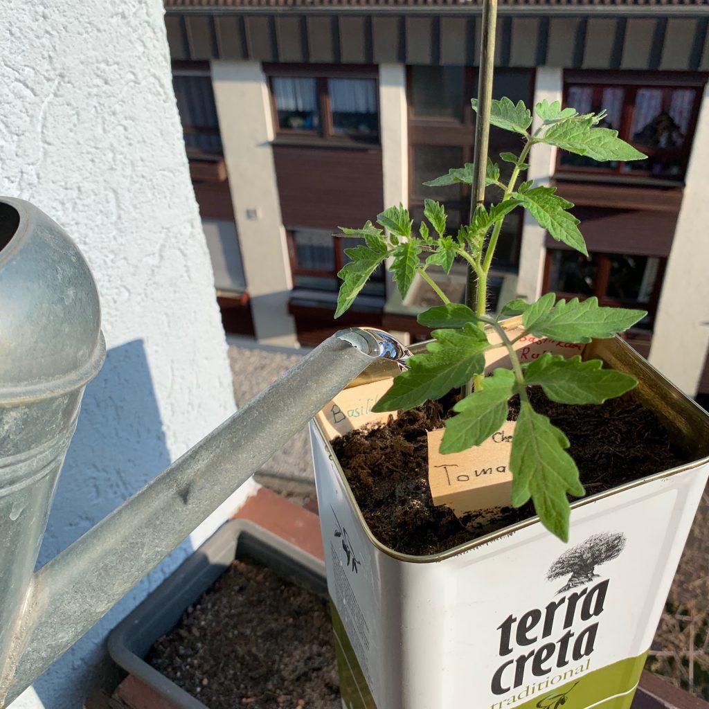 Tomate in Olivenölkanister angießen