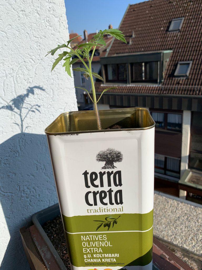 Olivenölkanister mit Tomatenpflanze