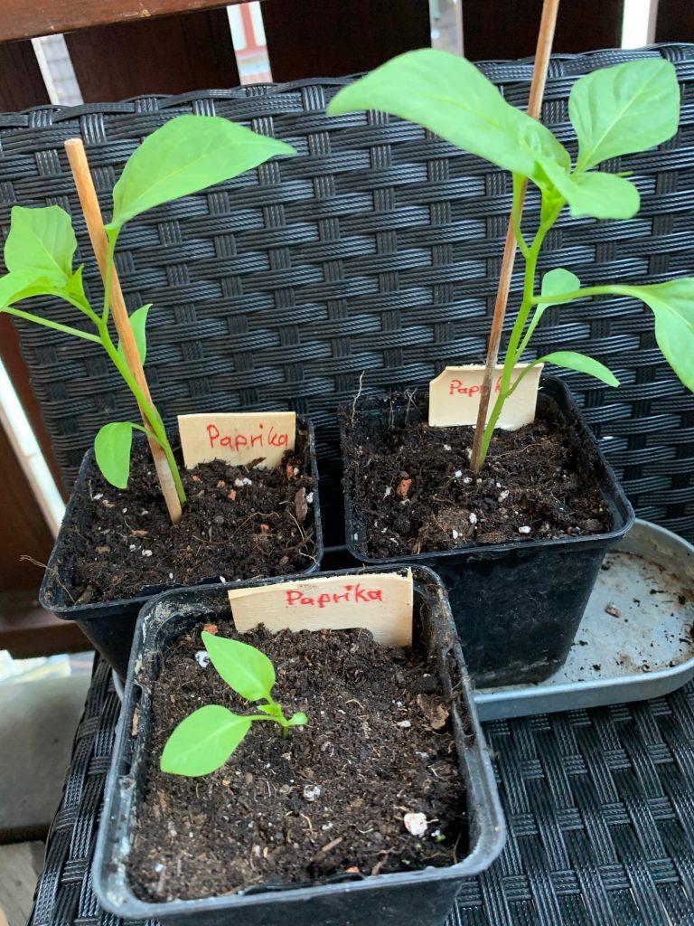 Paprika Pflanzenschildchen
