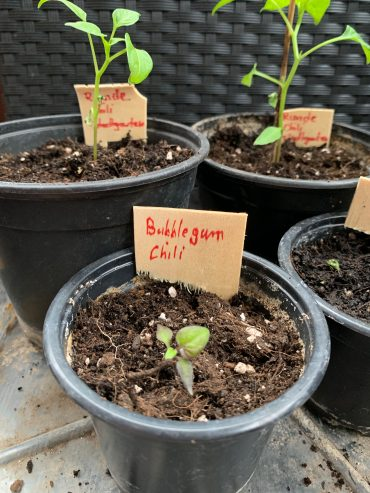 Pflanzenschildchen Chili